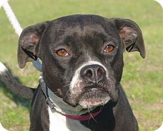 Boxer Mix Dog for adoption in Daytona Beach, Florida - Karma