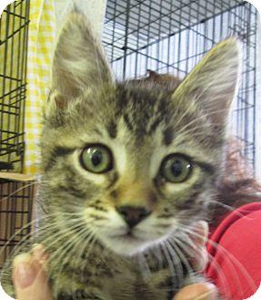 Domestic Shorthair Kitten for adoption in Pueblo West, Colorado - Burke