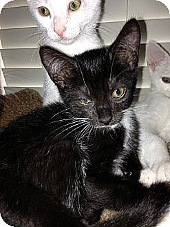 Domestic Shorthair Cat for adoption in Royal Palm Beach, Florida - Renny