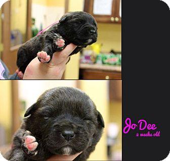 Australian Shepherd/Mastiff Mix Puppy for adoption in Garden City, Michigan - JoDee