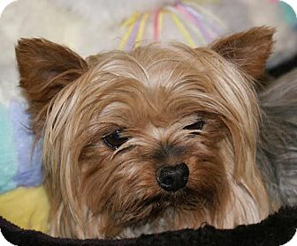 Yorkie, Yorkshire Terrier Dog for adoption in San Fernando Valley, California - Casey