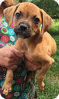 Boxer Mix Puppy for adoption in Dumfries, Virginia - Leia