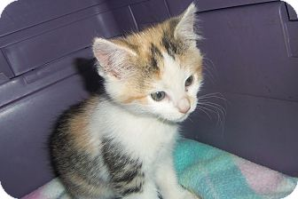 Domestic Shorthair Kitten for adoption in Medford, Wisconsin - LOLA