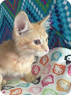 Domestic Mediumhair Kitten for adoption in Fountain Hills, Arizona - GALAXY