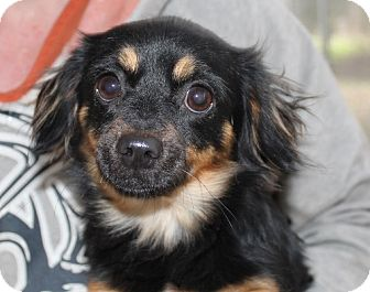 English Toy Spaniel/Terrier (Unknown Type, Small) Mix Dog for adoption in Hagerstown, Maryland - Becca