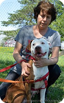 Pit Bull Terrier Mix Dog for adoption in Delaware, Ohio - Fancy