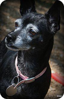Chihuahua Mix Dog for adoption in O Fallon, Illinois - Lola