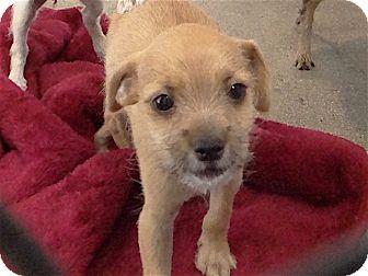 Chihuahua Mix Puppy for adoption in Long Beach, California - Daffodil
