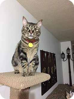 Domestic Shorthair Cat for adoption in THORNHILL, Ontario - Fiona