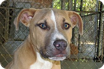 American Pit Bull Terrier Mix Puppy for adoption in Ruidoso, New Mexico - Jerico