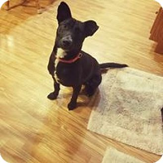 Cattle Dog/Basenji Mix Dog for adoption in Channahon, Illinois - Louie