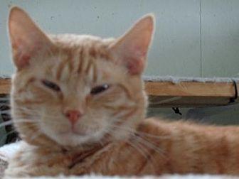 Domestic Shorthair Cat for adoption in Watsontown, Pennsylvania - Carl