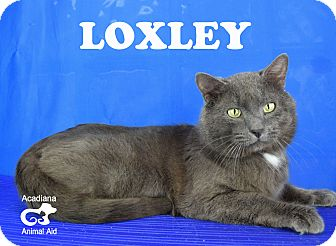 Domestic Shorthair Cat for adoption in Carencro, Louisiana - Loxley