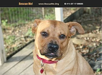 Boxer/Terrier (Unknown Type, Medium) Mix Dog for adoption in Homestead, Florida - wanda