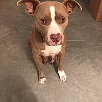 Adopt A Pet :: Cocoa - Rowlett, TX