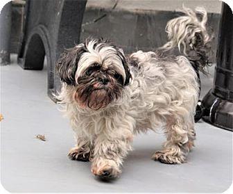 Shih Tzu Mix Dog for adoption in Philadelphia, Pennsylvania - Shady