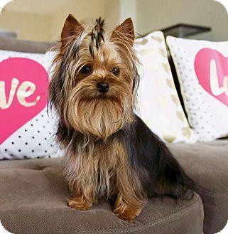 Yorkie, Yorkshire Terrier Puppy for adoption in Irvine, California - Murphy