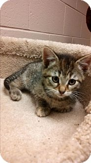 Domestic Shorthair Kitten for adoption in Troy, Ohio - Wilma