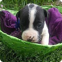 Adopt A Pet :: Beatrix - Hartford, CT