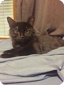 Domestic Shorthair Cat for adoption in Huntington, West Virginia - Maya