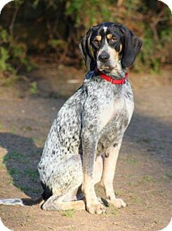 Bluetick Coonhound/Coonhound Mix Dog for adoption in Ontario, Ontario - Diamond - ADOPTED