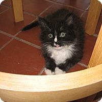 Adopt A Pet :: Mr. Fluffy - Fallon, NV