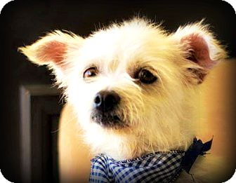 Poodle (Toy or Tea Cup)/Terrier (Unknown Type, Small) Mix Dog for adoption in Tijeras, New Mexico - Roberto - Available Soon