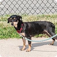 Adopt A Pet :: Serafina - Bridgewater, NJ