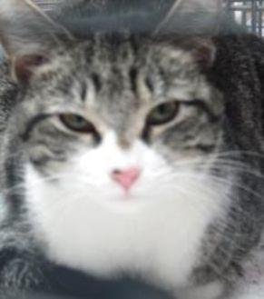 Domestic Shorthair/Domestic Shorthair Mix Cat for adoption in Robinson, Illinois - Akira
