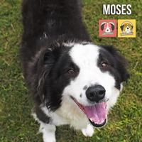 Border Collie Mix Dog for adoption in Gulfport, Mississippi - LIL BABY MOSES