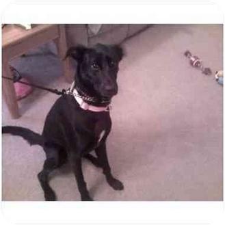 Labrador Retriever/Greyhound Mix Dog for adoption in Plainfield, Illinois - Roxi