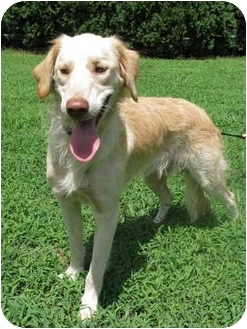 Labrador Retriever/Poodle (Standard) Mix Puppy for adoption in Hagerstown, Maryland - Rudy