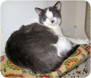 Domestic Shorthair Cat for adoption in Harrisburg, North Carolina - Dexter
