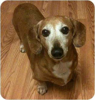 Dachshund Dog for adoption in San Jose, California - Dasher