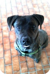 American Pit Bull Terrier/Labrador Retriever Mix Dog for adoption in Wasilla, Alaska - Rex