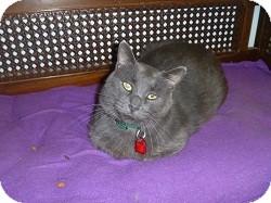 Domestic Shorthair Cat for adoption in Hamburg, New York - Dorian