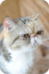 Exotic Cat for adoption in Columbus, Ohio - Destiny