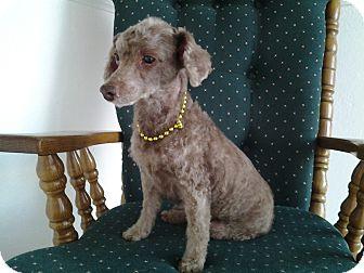 Poodle (Miniature) Mix Dog for adoption in Naples, Florida - Maya