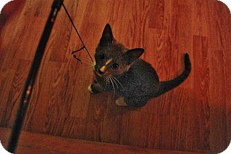 Domestic Shorthair Cat for adoption in Bentonville, Arkansas - Streak