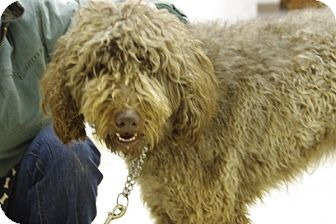 Labradoodle Mix Dog for adoption in Elyria, Ohio - Odin