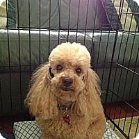 Adopt A Pet :: Bear - Davie, FL
