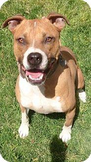 American Staffordshire Terrier/Boxer Mix Dog for adoption in Gilbert, Arizona - Ronan