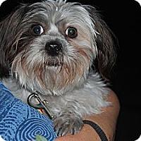 Adopt A Pet :: Precious - New Milford, CT