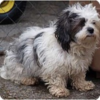 Adopt A Pet :: Sophie - Snuggle Bum - Toronto/Etobicoke/GTA, ON