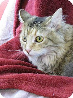 Domestic Longhair Kitten for adoption in tama, Iowa - Zora