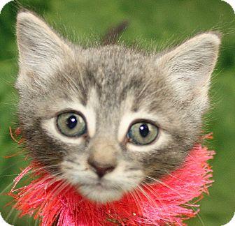 Domestic Shorthair Kitten for adoption in Jackson, Michigan - Whitney