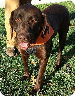 Labrador Retriever Dog for adoption in Spring Valley, New York - Grizzly