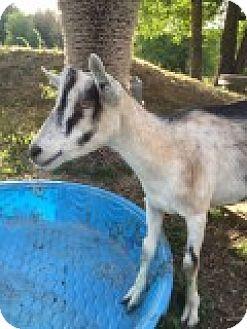 Goat for adoption in Maple Valley, Washington - Monty