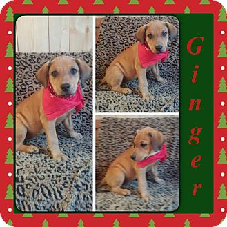 Labrador Retriever/Mountain Cur Mix Puppy for adoption in East Hartford, Connecticut - Ginger-pending adoption