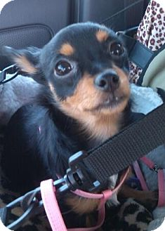Chihuahua Mix Puppy for adoption in Hagerstown, Maryland - Izzy